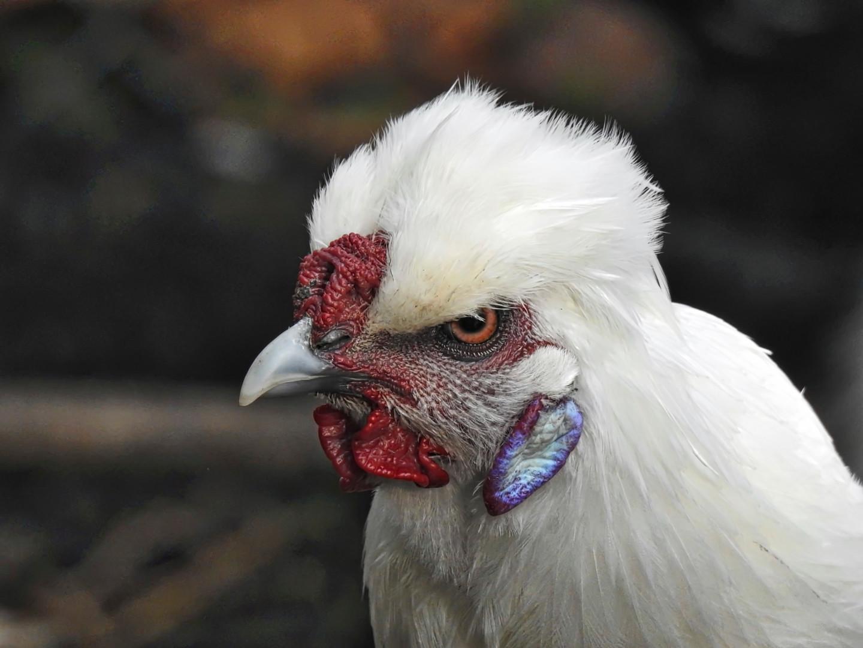ALAIN BRASSEUR - Coq Nègre soie blanche.