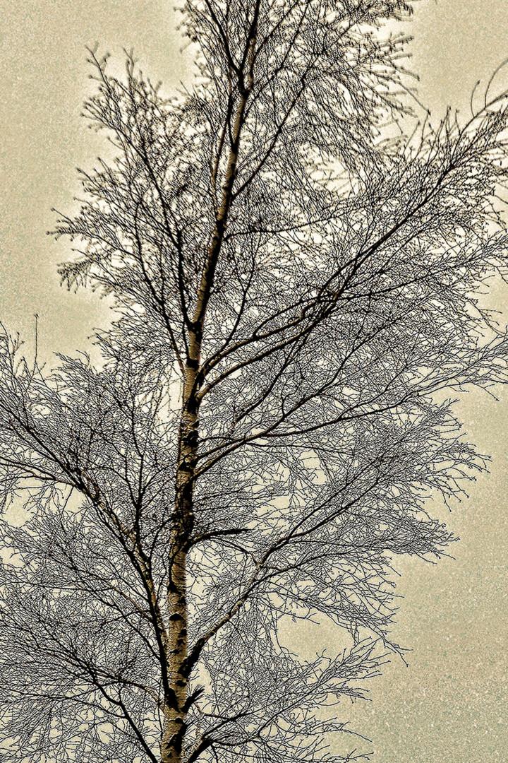 Alain Brasseur - Bouleau en hiver