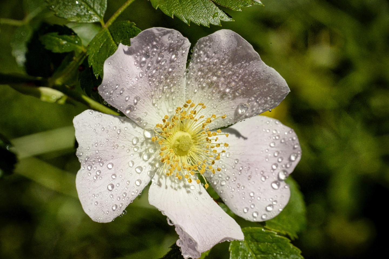Alain Brasseur - Fleur de rosier sauvage