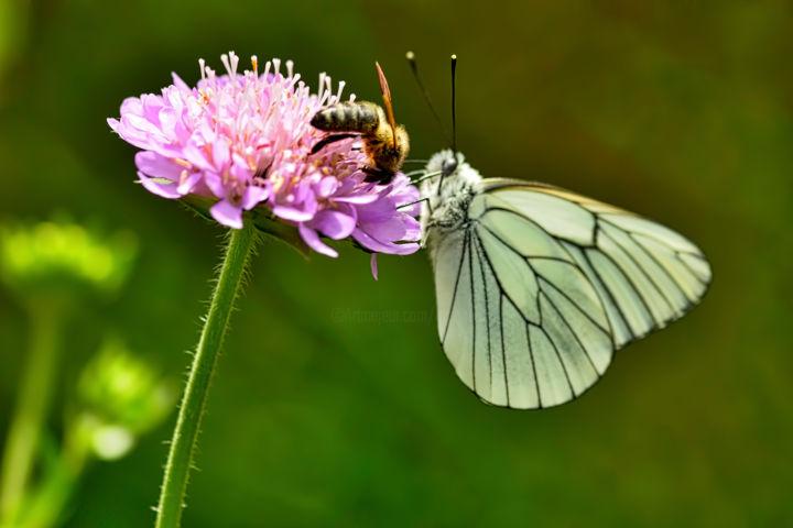 ALAIN BRASSEUR - Papillon gazé