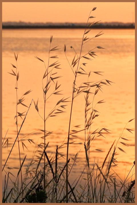 ALAIN BRASSEUR - Folle avoine dans le soleil levant.