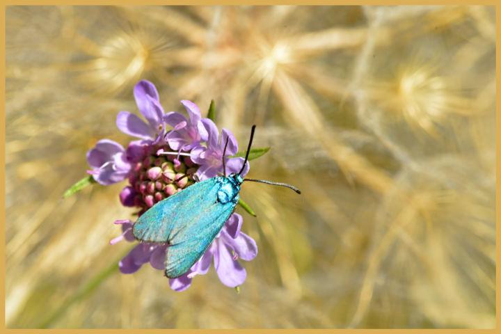 ALAIN BRASSEUR - Zygène bleu sur scabieuse.