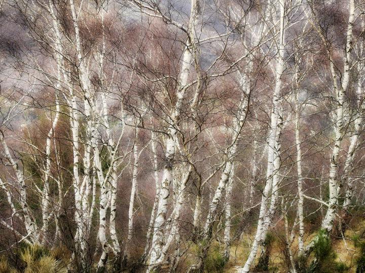 ALAIN BRASSEUR - Le bosquet de bouleaux.